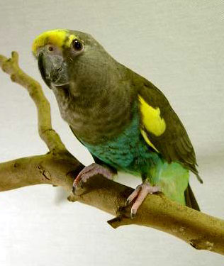 free downloading pics of bird meyer's parrot